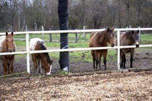 Zaungäste-Pferde