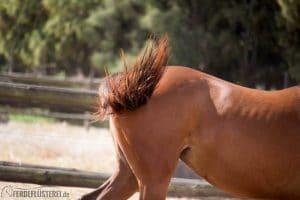 Pferdepopo auf Collingwood Stud