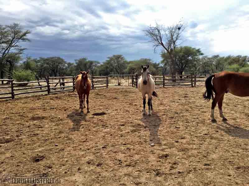 Pferde auf der Koppel in Namibia