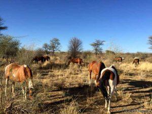 Pferde im Afrikanischen Busch
