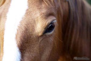 Pferde Auge
