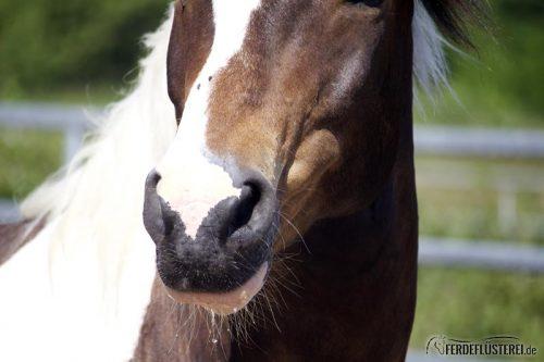 Pferd schaut
