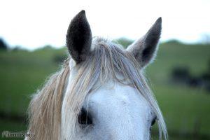 Pferdeohren zugewandt