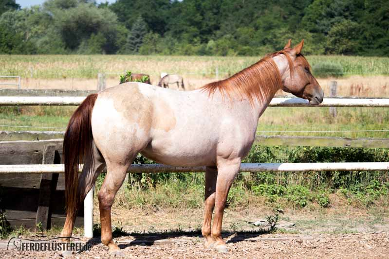 Carey - Quarterhorse