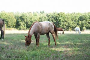 Carey - Quarterhorse