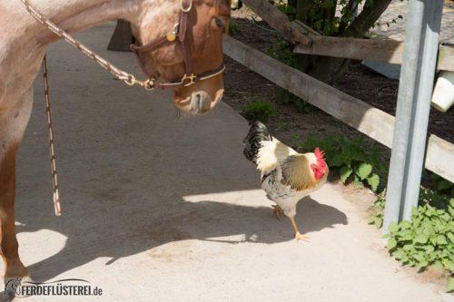Pferd huhn