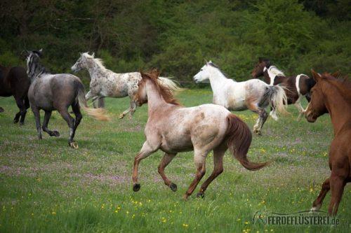 Pferdeherde auf der Koppel