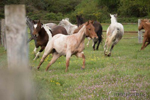 Angrasen in der Pferdegruppe