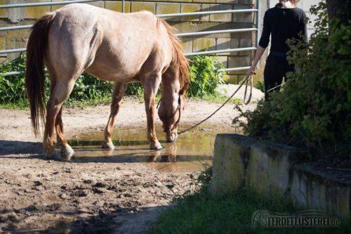 Pferd trinkt