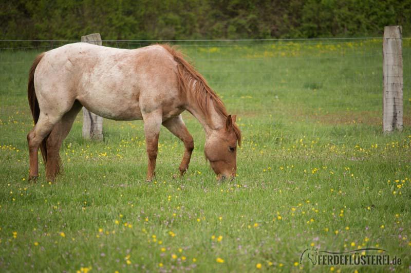 Pferd grast Weide