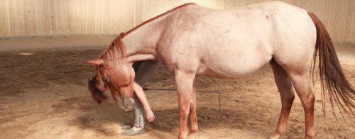 Leckerli Training mit Pferd