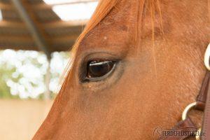 Carey Pferd Auge