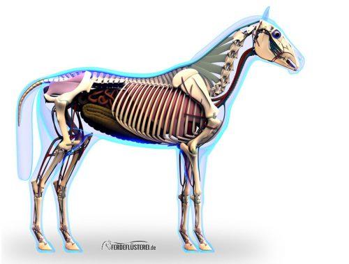 Anatomie Pferd