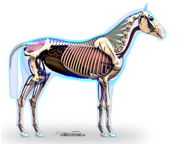 Pferdeanatomie erklärt! Magen, Darm und die Verdauung beim Pferd