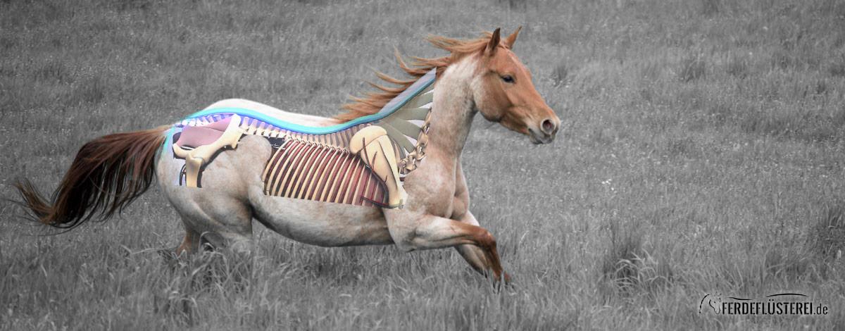 Ruecken Pferd Anatomie Muskeln Slider