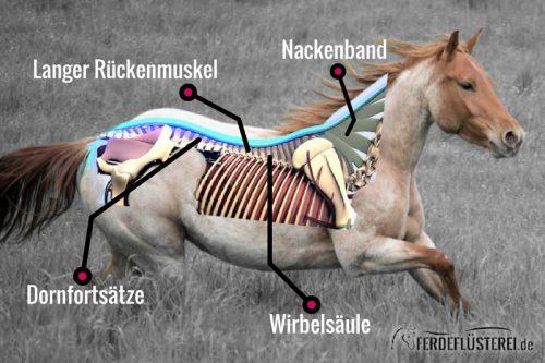 Ruecken-anatomie Pferd Erklärbild