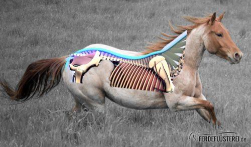 Ruecken Pferd Anatomie Muskeln