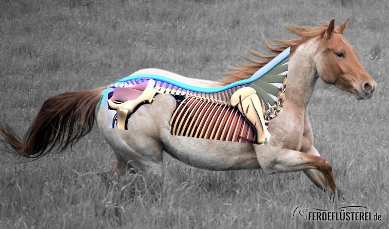 Pferdeanatomie erklärt! Der Rücken und seine Stellschrauben