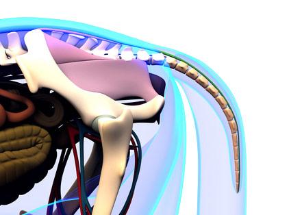 Anatomie-Pferd Schweif