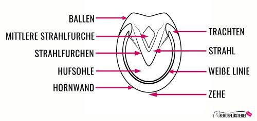 Huf-Zeichnung Querschnitt Anatomie Pferd