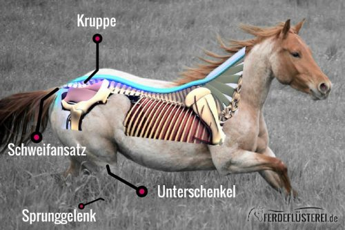 Slider Pferde Anatomie Hinterhand Kruppe Schweif