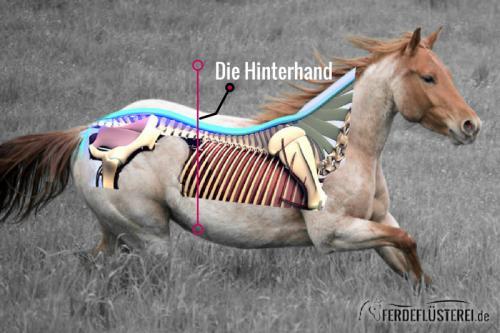 Pferde Anatomie Hinterhand