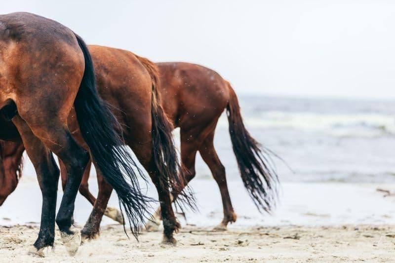 Pferdeanatomie erklärt! Der Pferdeschweif und was er alles erzählen kann 1