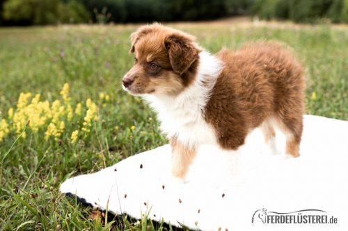 Hundedecke mit Hunde-Welpe