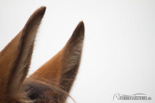 Pferde Ohr gespitzt