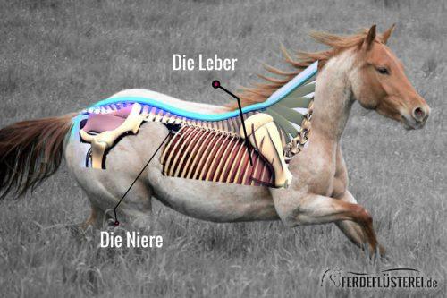 Anatomie_Pferd_leber