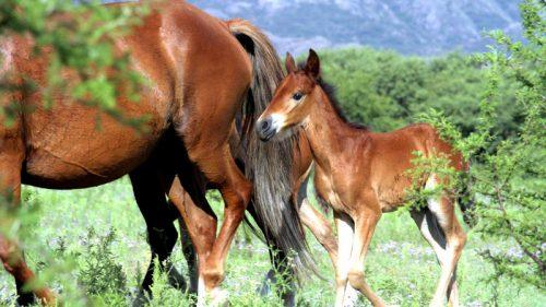 Paso Peruano Pferde Rasse