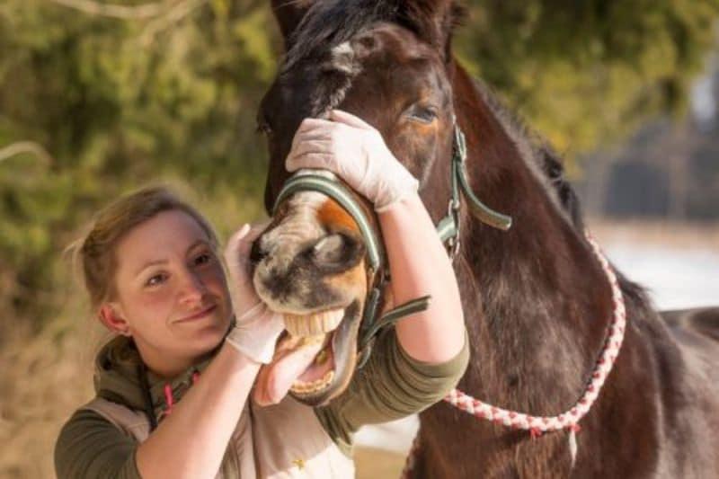 Pferdeanatomie erklärt! Was die Pferdezähne im Körper machen und wie du sie richtig pflegen kannst 3