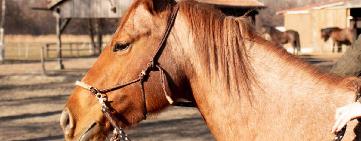 Carey - Pferd mit Sidepull-Knoti