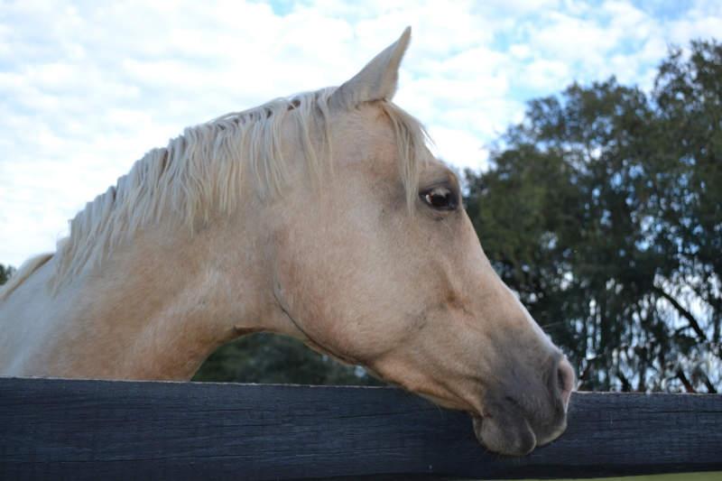 Das ABC der Fellfarben beim Pferd! Von bis A wie Apfelschimmel bis P wie Palomino 8