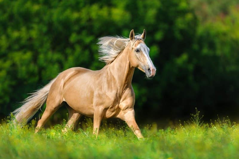 Das ABC der Fellfarben beim Pferd! Von bis A wie Apfelschimmel bis P wie Palomino 9