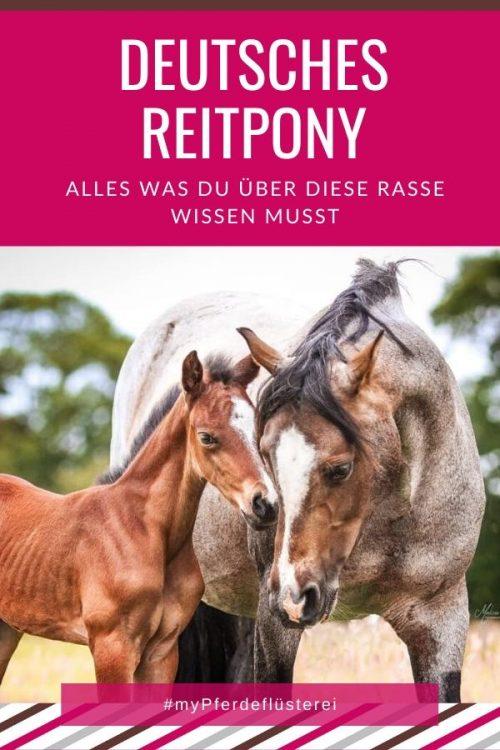 Deutsches Reitpony 2