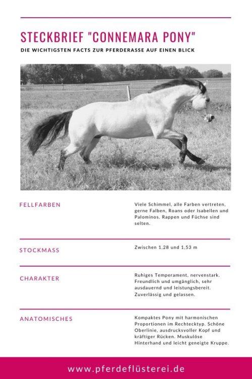 Connemara Pony 4