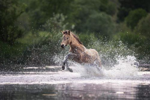 Connemara Pony 1