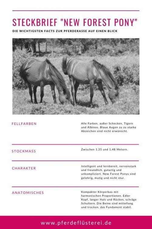 New Forest Pony 3