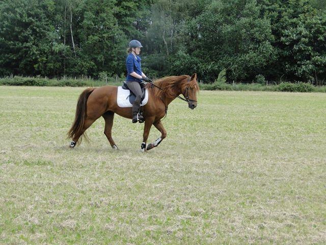 Reiter auf Tennesse Walking Horse