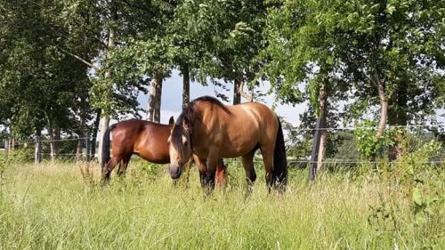 Tennessee Walking Horse 8