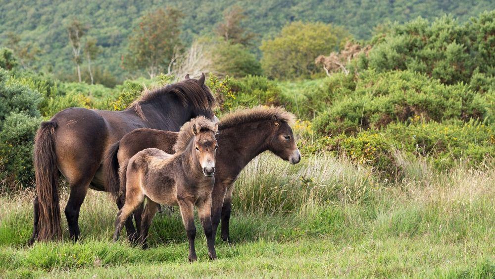 Exmoor Pony 1