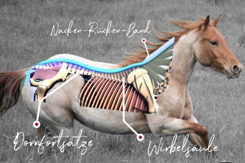 Anatomie vom Pferd! Alle Basics von Kopf bis Huf 5