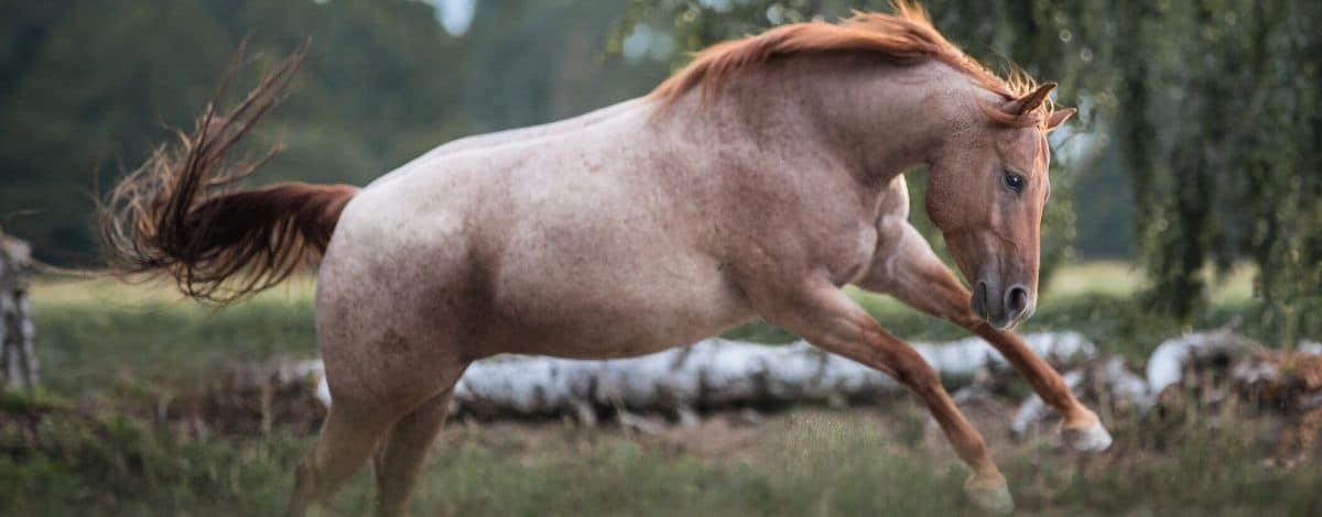 Dickes Pferd - Dicke Carey