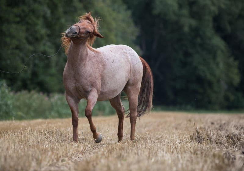 gestresstes-pferd