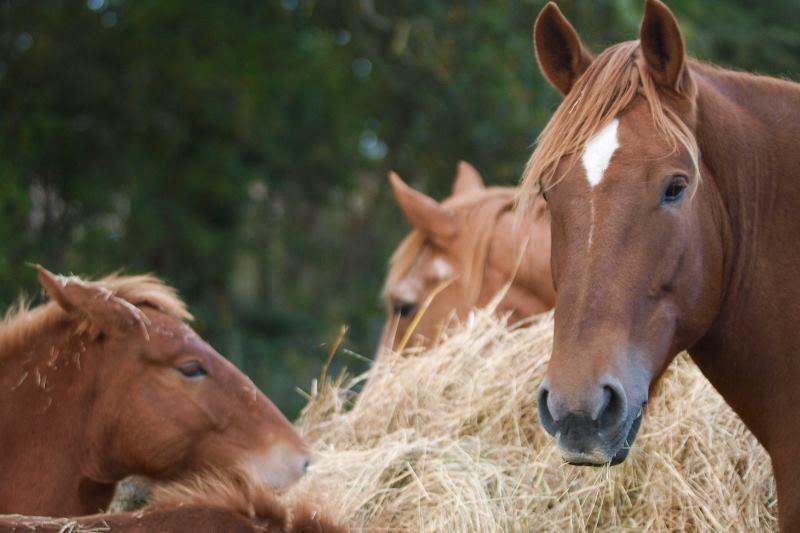 Pferdeherde frisst Heu