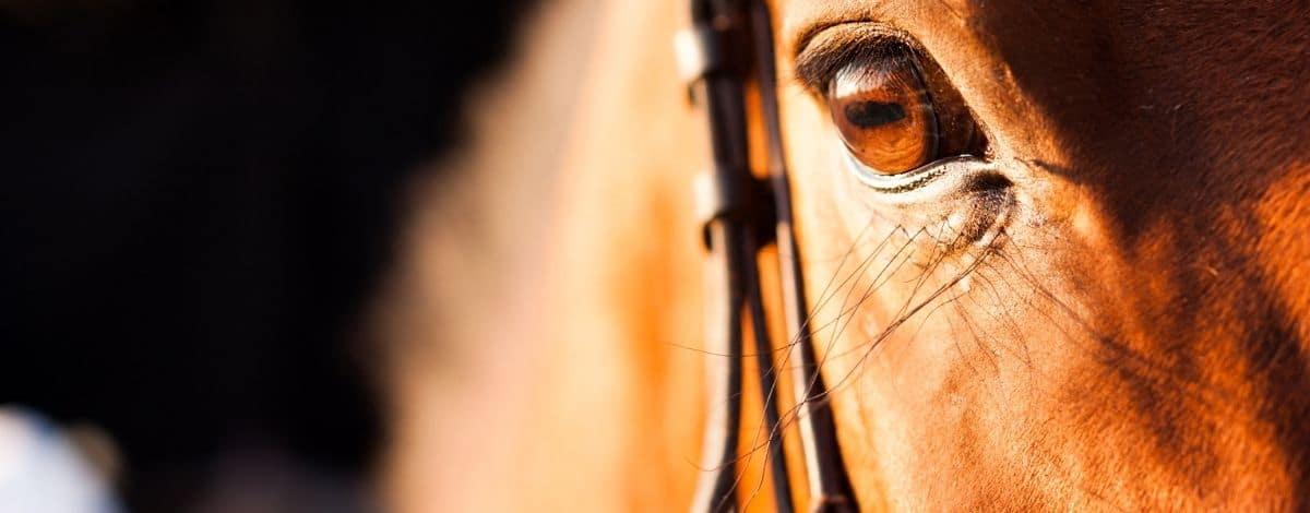Nahaufnahme eines braunen Pferdekopfes mit Fokus auf das Auge