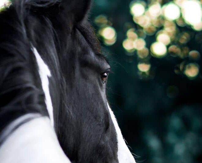 Tinker Pferd