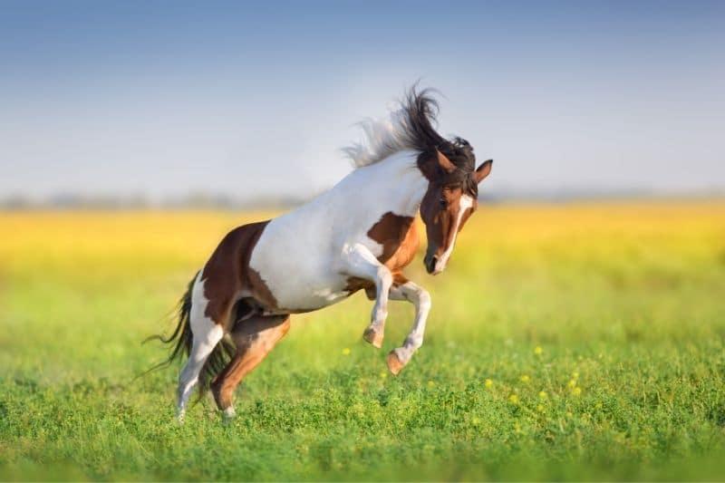 Steigendes Pferd in der Wiese
