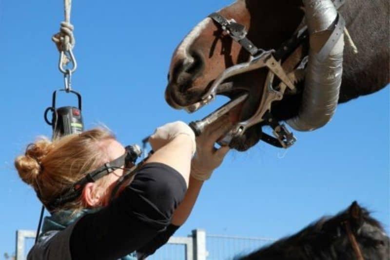 Pferdezähne werden untersucht